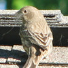 Female House Finch Gathering Fibers From Our Roof Cap