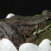 Female Green Frog on Decorative Lily in Pond
