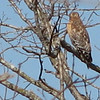 Red-shouldered Hawk At A Great Distance Across Road