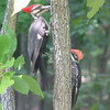 Mama Pileated with Juvenile - Look at That Hairdo - Could We Call It Spiked