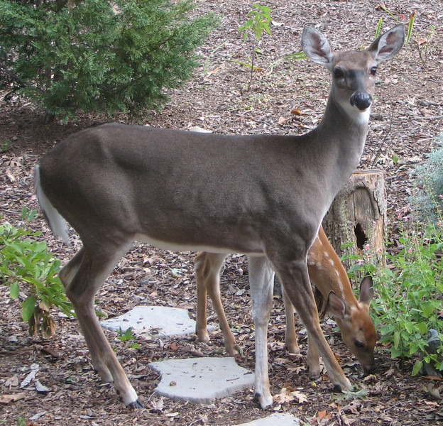 Deer - Doe and Fawn Outside Front Door_2