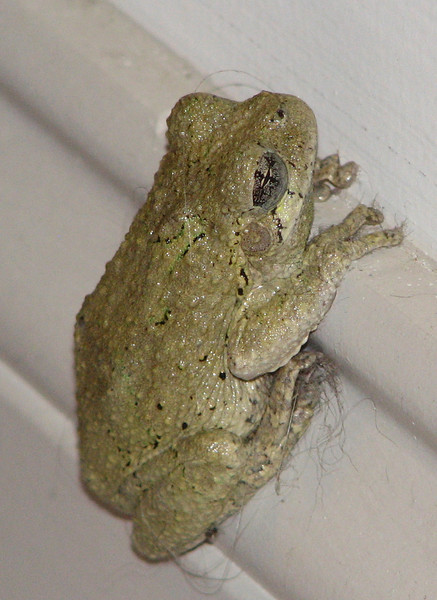 Eastern Gray Tree Frog In Our Living Room Hanging On To Baseboard