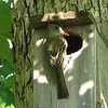 Great-crested Flycatcher - May 21 - Building Nest_8