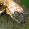 Close-up Eastern Fence Lizard Shedding - Eye Caps
