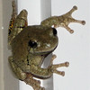 Night Time Eastern Gray Tree Frog