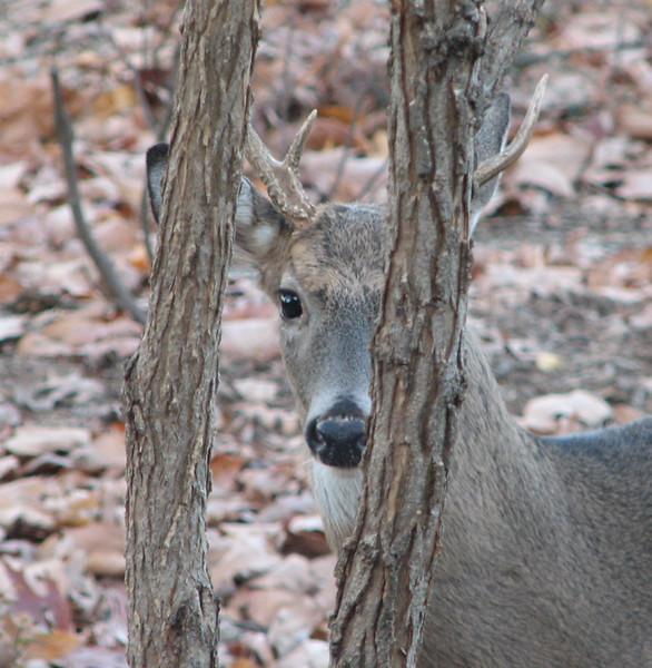 Deer - Young Buck