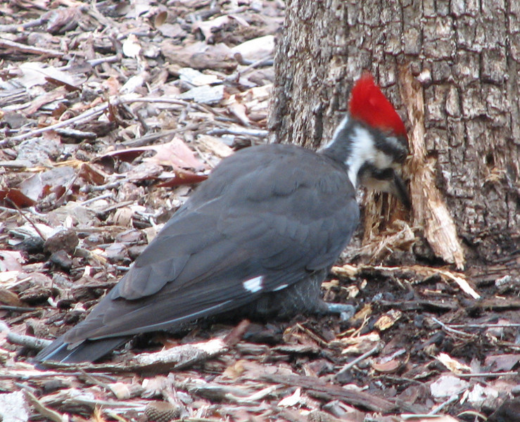 Pileated Woodpecker Digging for Bugs - They Can Really Tear the Bark Off of Dead Trees