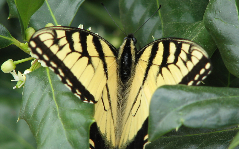 First Eastern Tiger Swallowtail This Year - Male - April 4