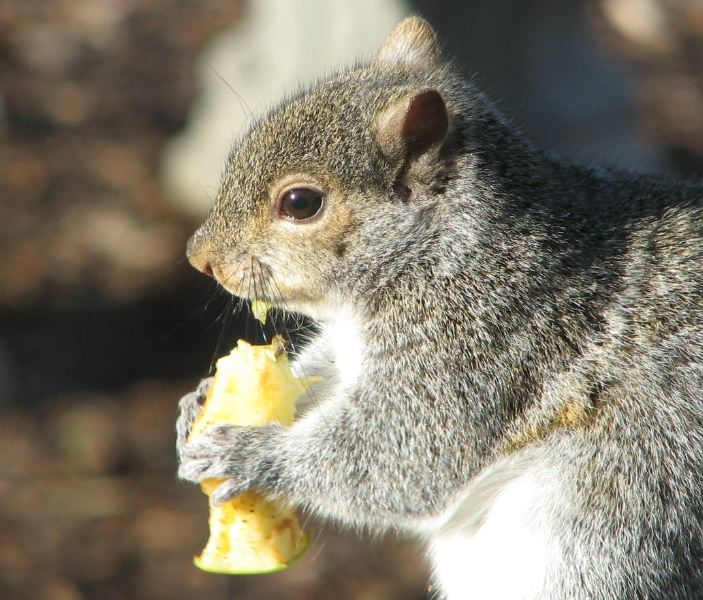 Previous Year's Photo - Apple-Eating Squirrel