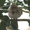 Song Sparrow Puffed Up on Wet Winter Morning