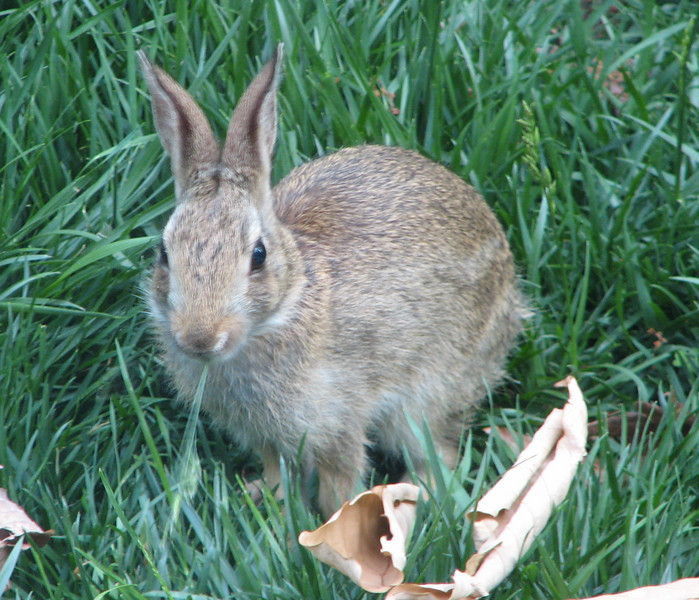 Young Bunny Nibbling in Grass - May 21
