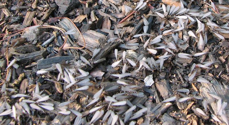 Swarming Termites - All Those Grayish White Wings