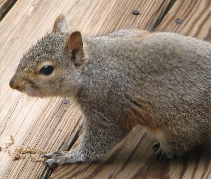 Skkiny Tail the Squirrel on Our Deck - Has Deformed Foot and Thin Tail with No Fluff