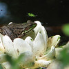 Female Green Frog on Decorative Lily in Pond_2