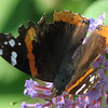 Weathered Red Admiral Butterfly