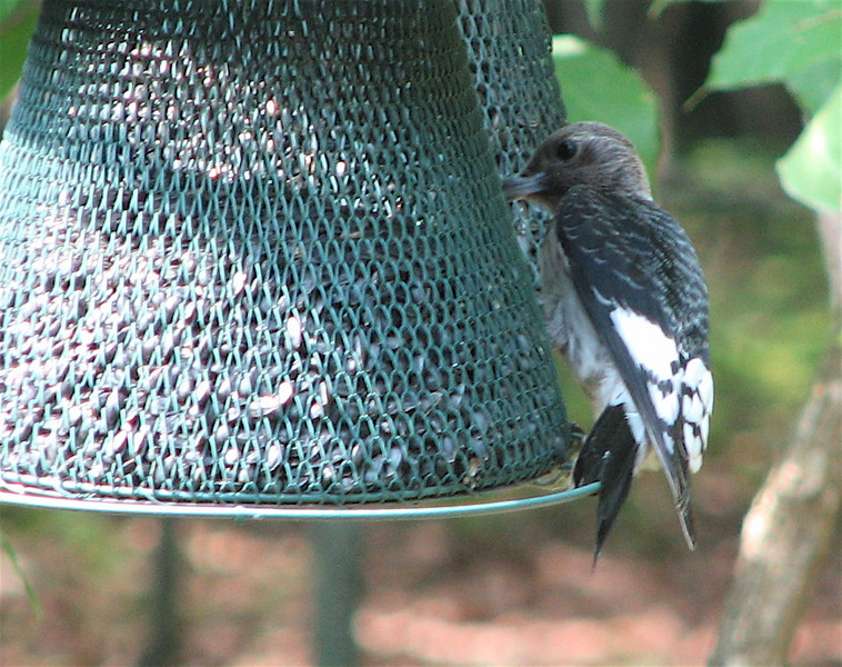 Juvenile Red-headed Woodpecker at The Feeder