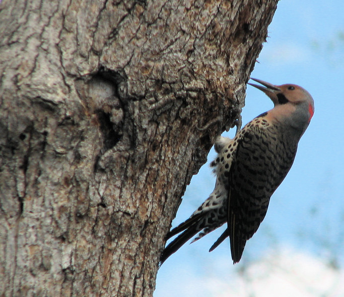Male Northern Flicker - April 20_3