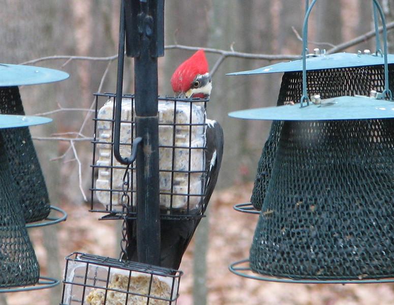 Bird's Eye View - Pileated Woodpecker