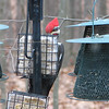 Bird's Eye View - Pileated Woodpecker