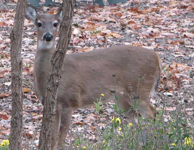 Peek-A-Book Deer
