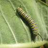 Monarch Caterpillar  8-13-07