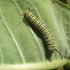 Monarch Caterpillar  8-13-07