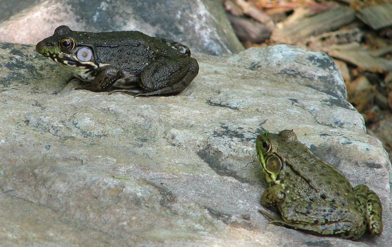 Green Frogs - Female on Left and Male on Right_2