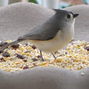 Titmouse Digging for Peanut Hearts on Our Front Porch