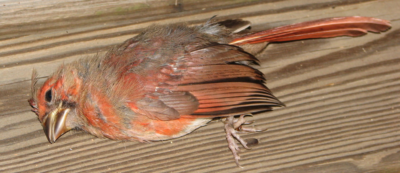 Juvenile Male Cardinal Hit the Deck Door - Broken Neck - So Sad
