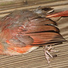Juvenile Male Cardinal Hit the Deck Door - Broken Neck - So Sad