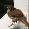 Wren Fledgling - May 2007_7