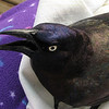 Common Grackle Close-up of Face - March 26