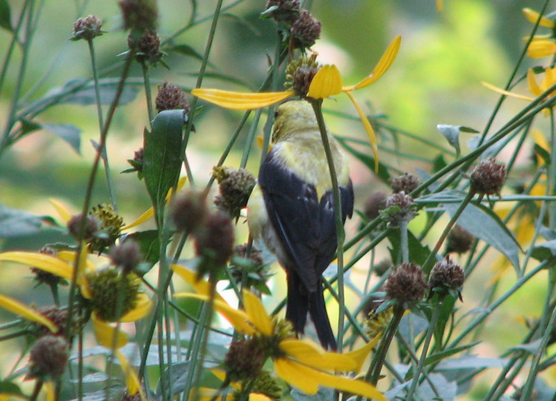 American Goldfinch on Green-headed Coneflowers