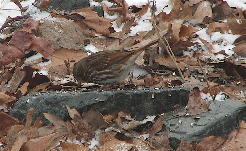 Fox Sparrow (Red) - Seems to Have Arrived Early in Our Area This Warm Year