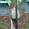 Peek-a-Boo - Pileated Woodpecker on Suet - May 18