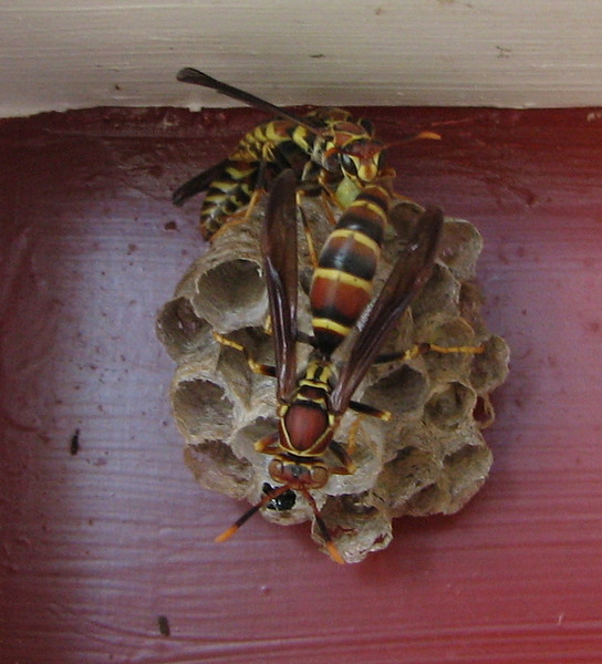 Beautiful Coloring of Paper Wasps at Our Front Door
