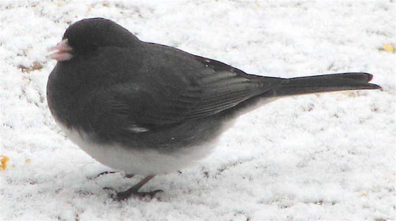 Junco in Snow_2