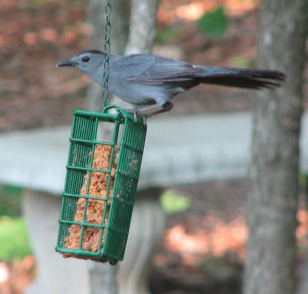 Gray Catbird on Suet