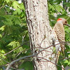 Female Norther Flicker on Tree - Coloring is So Different in the Light