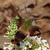 Noticed Coiled Proboscis on Hummingbird Moth - Hemaris thysbe
