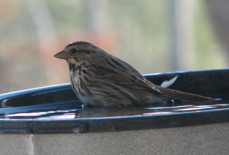 Heated Bath Time in January for Song Sparrow