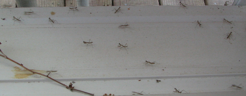 Each Of The Baby Mantises Was Three-Eighth of An Inch Long