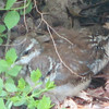 One Wren or Three - So Cute - Wren Babies - Day After Fledging From Nest - May 4