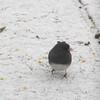 Male Junco in Snow