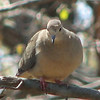 Mourning Dove - Skinny Head for Plumped Body