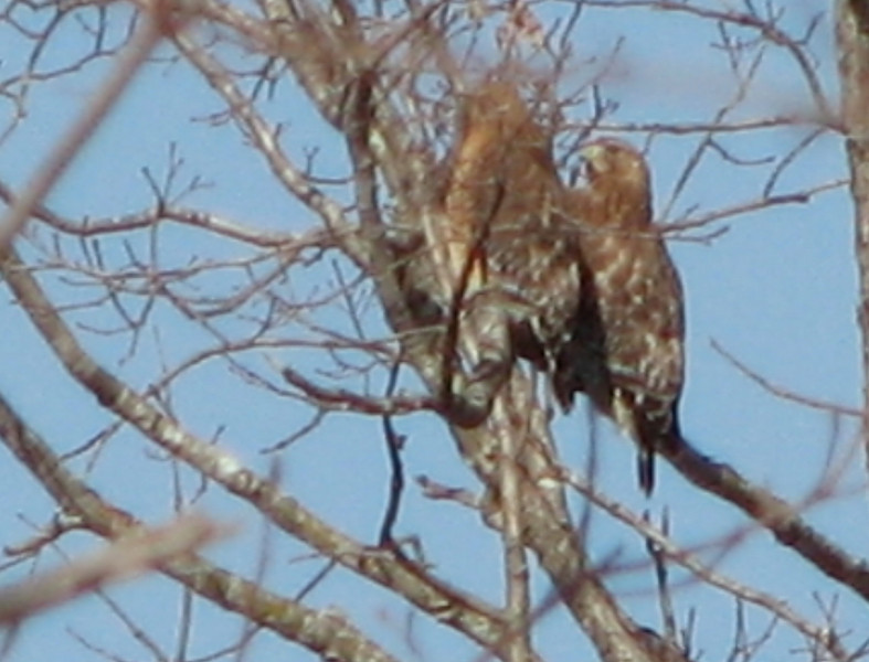 Red-shouldered Hawk Couple - Mating Time - Feb. 21