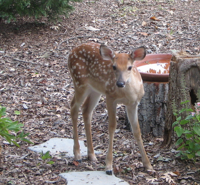 Fawn Feeding At Front Garden Bed
