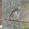 Song Sparrow on Willow Tree in Winter
