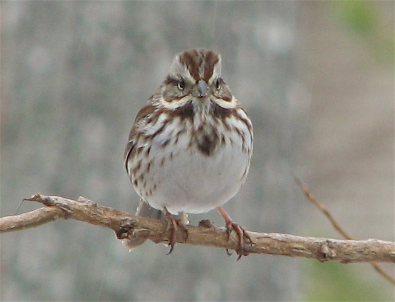 What a Cute Frontal View of the Song Sparrow