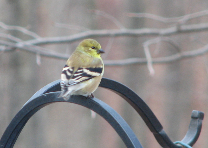 Male American Goldfinch Losing Summer Color